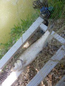 Cavedano, pesce d'acqua dolce