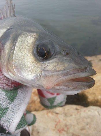 Pesca alla spigola nel fiume Ebro